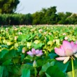 Stock Photo: Pond covered many lotuses