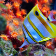 Stock Photo: Marine tropical fish
