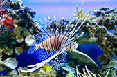 Marine tropical fish — Stock Photo
