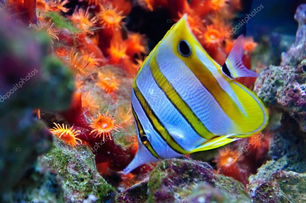 Marine tropical fish ? Stock Photo ? borissos #6451585