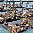 Stock Photo: SeLions, pier 39