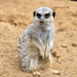 The meerkat — Stock Photo