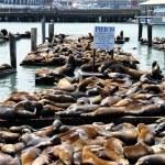 Sea Lions, pier 39 — Stock Photo