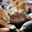 Sea Lions, pier 39 — Stock Photo #5468641