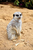 The meerkat — Stock Photo