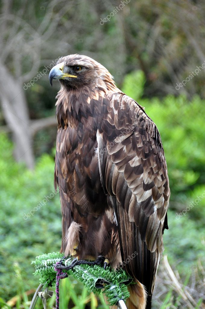Golden eagle perched on tree stump at San Francisco Zoo — Stock Photo #5466733
