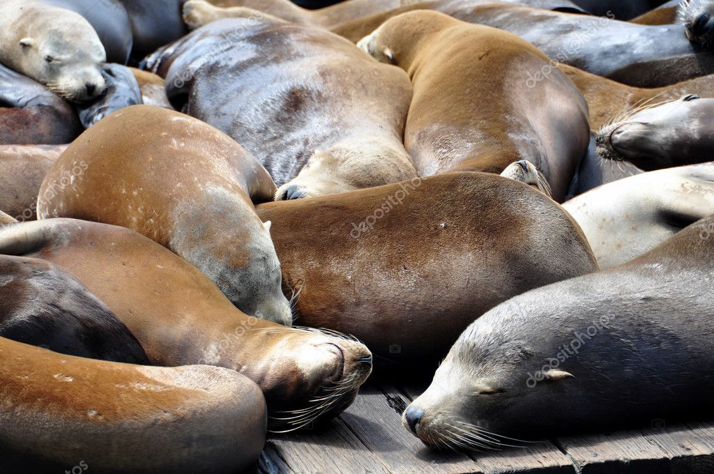 Sea lions on pier 39 in San Francisco, USA. — Stock Photo #5468653