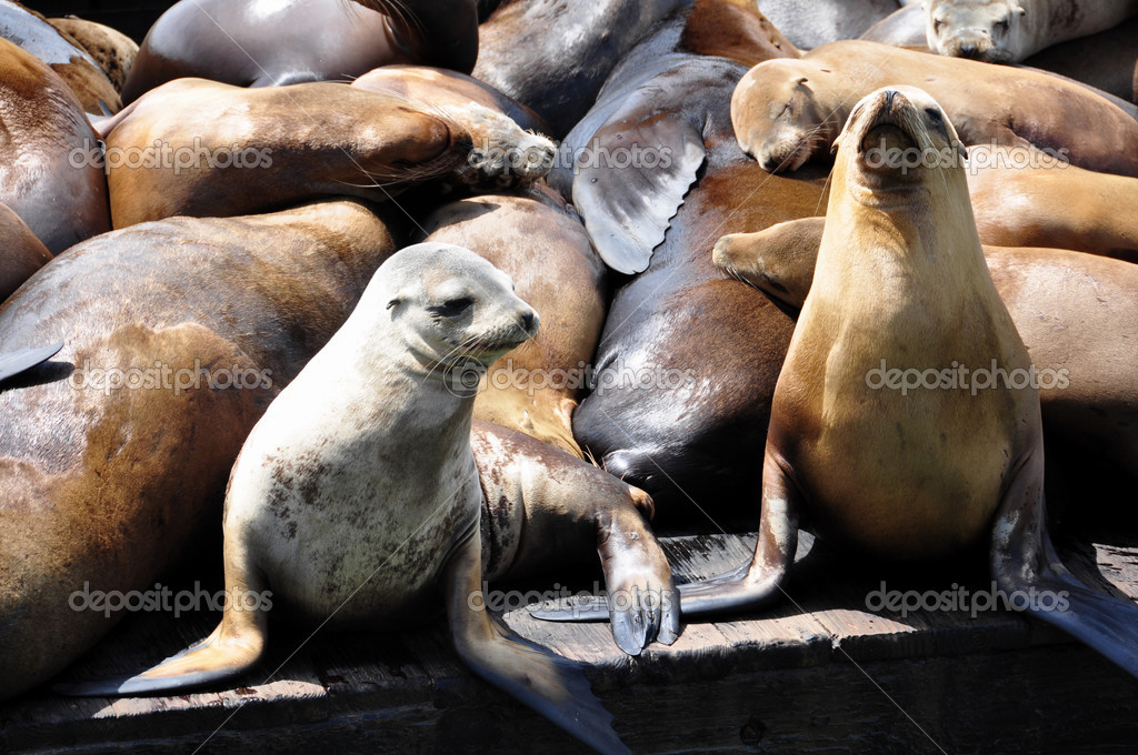 Sea lions on pier 39 in San Francisco, USA.  Stock Photo #5468693