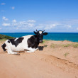 Stock Photo: Cow geting tan