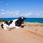 Cow geting tan — Stock Photo