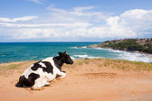 Cow liing on the beach — Stock Photo
