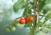 Cherry tomaten — Stockfoto