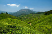 Tea valley — Stock Photo
