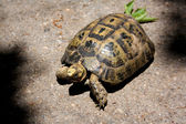 Turtle,animal, arid — Stock Photo
