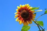 Sunflower,background,yellow,sky — Stock Photo