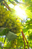 Grapes under the bright sun — Stock Photo