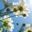 Daisies against blue sky in the morning. — Stock Photo #5548453