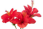 Red hibiscus isolated on the white background — Stock Photo