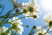 Daisies against blue sky in the morning. — Stock Photo