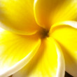 Foto Stock: Single white frangipani (plumeria) flower. Macro