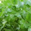 Stock Photo: Washed fresh-picked parsley