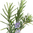 Rosemary with flowers isolated on white background — Foto Stock