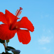 Hibiscus Flowers against a blue sky. - Stock Photo
