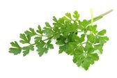 Fresh-picked parsley — Stock Photo