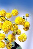 Blooming mimosa — Stock Photo
