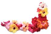 Corner with hibiscus flowers — Stock Photo