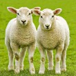 Twin lambs — Stock Photo