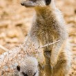 Mother and baby meerkat — Stock Photo
