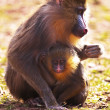 Mother and baby mandrill - Stock Photo