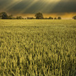 Dramatic sky and eerie light following a storm over a barley field - Stock Photo