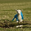 Stock Photo: Newborn lamb in coat