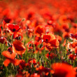 Poppy bokeh — Stockfoto