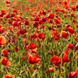 Field of poppies — Stockfoto