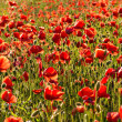 Field of poppies — Stock fotografie