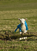 Newborn lamb in a coat — Stock Photo