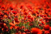 Poppy bokeh — Stock Photo