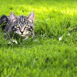 An attractive young kitten hunting in the grass — Stock Photo