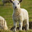Newborn spring lamb — Stock Photo #5497157