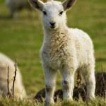 novorozence na jaře jehně — Stock fotografie #5497157