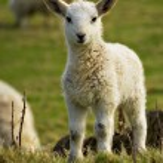Neugeborene Frühling Lamm — Stockfoto #5497157