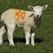 Stock Photo: Spring lambs