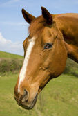Portrait of a beautiful chestnut mare — Stock Photo