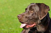 Profile portrait of a chocolate labrador retriever dog — Stock Photo