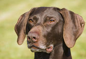 German short haired pointer — Stock Photo