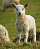 Newborn spring lamb — Stock Photo