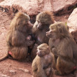Stock Photo: Hamadryas baboons